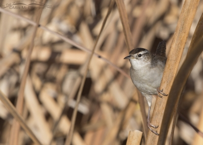 Marsh Wren on cattail leaf