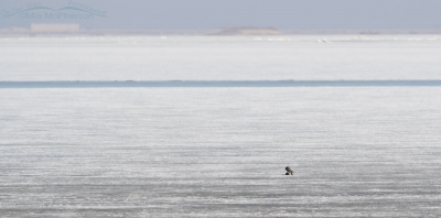 Peregrine Falcon out on the frozen flats eating its prey