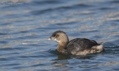 Pied-billed Grebe floating by