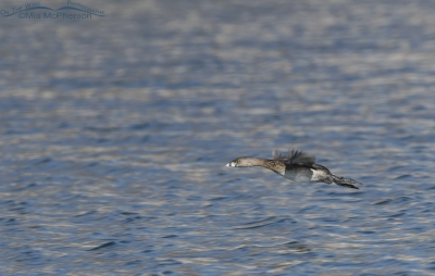 Pied-billed Grebe in flight