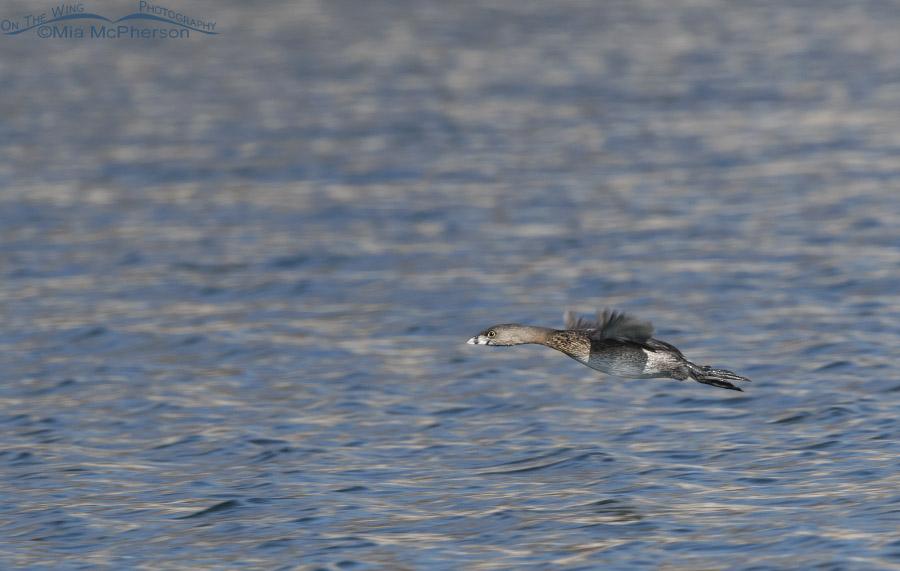 Pied-billed Grebe in flight