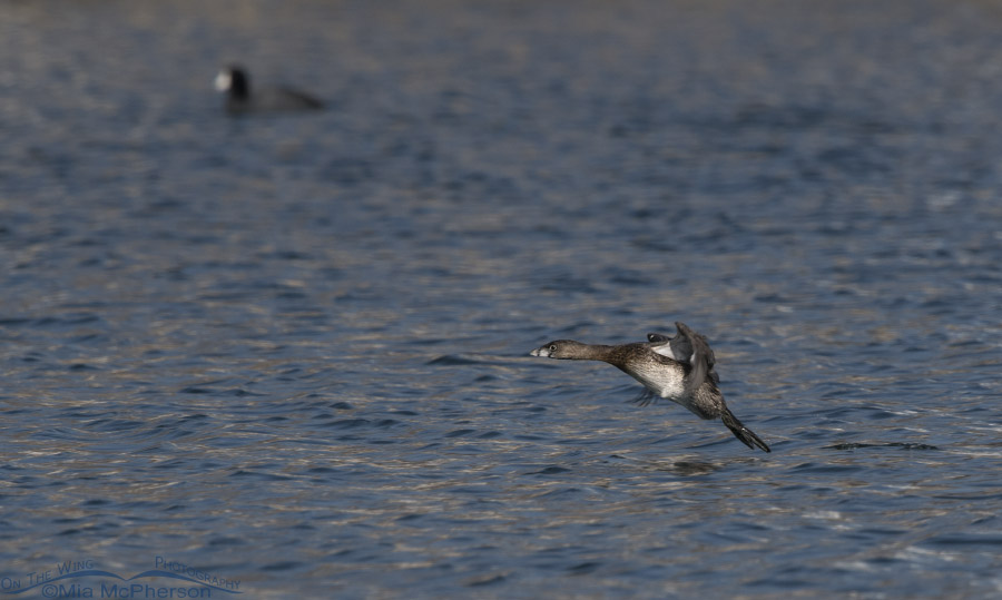 Flying Pied-billed Grebe