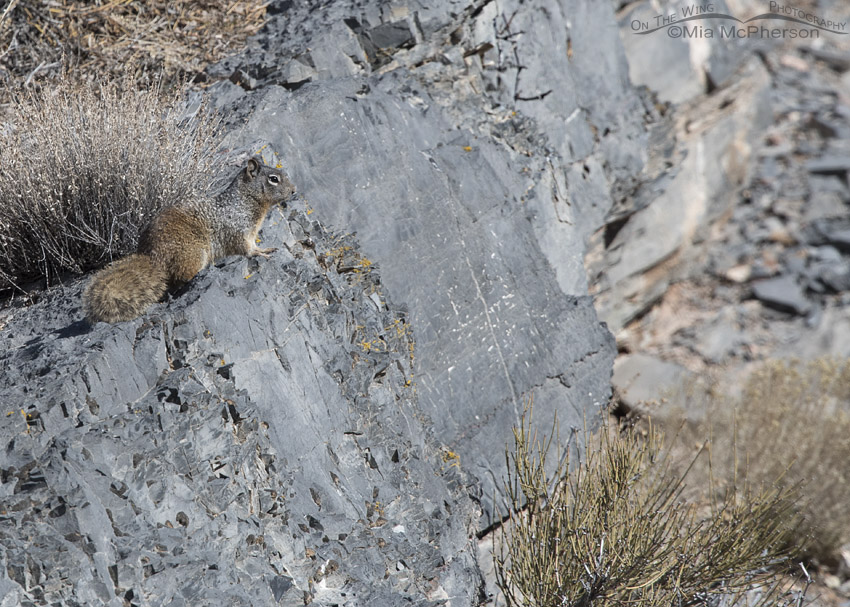 Rock Squirrel Images