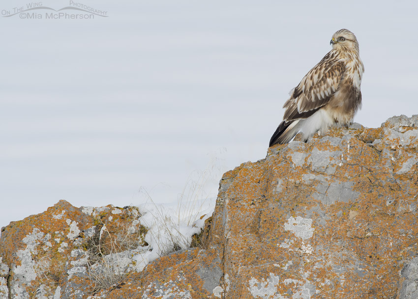 Rough-legged Hawk on a snow and lichen covered rock