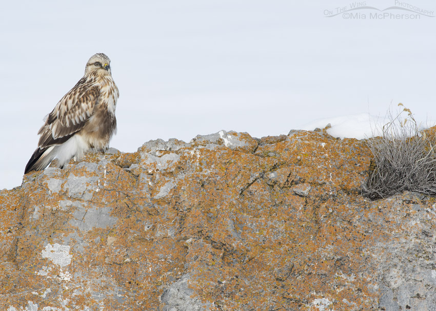Rough-legged Hawk on a lichen covered rock