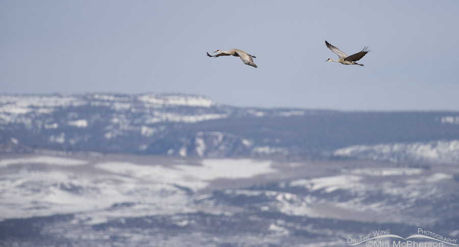 Sandhill Cranes flying over snow-covered mountains