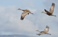 Three Sandhill Cranes in flight
