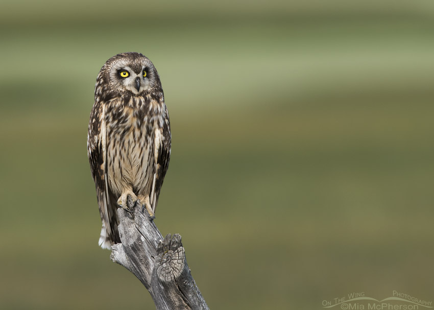 Female Short-eared Owl in front of a pasture