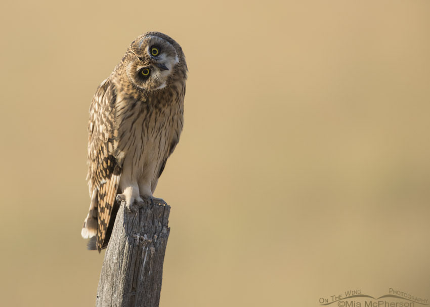 Side lit juvenile Short-eared Owl