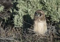 Short-eared Owl chick in early morning light