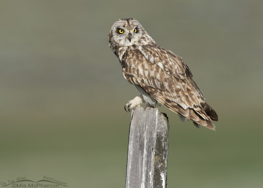 Short-eared Owl male watching a bird in the distance