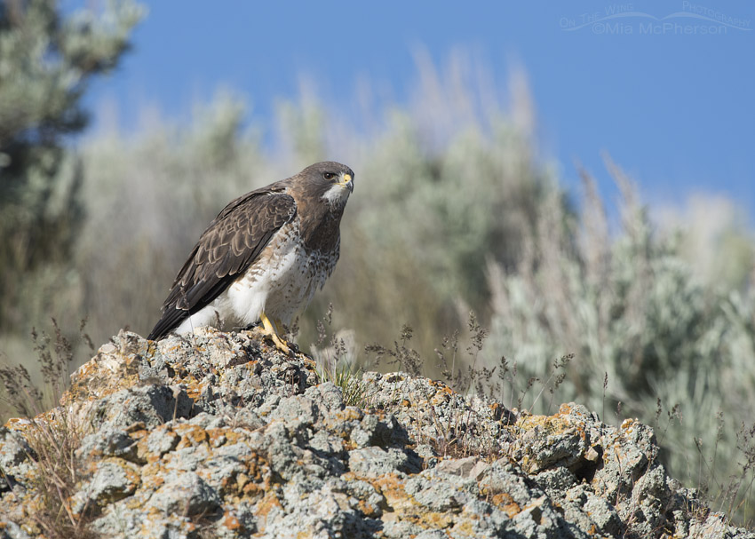One serious looking Swainson's Hawk