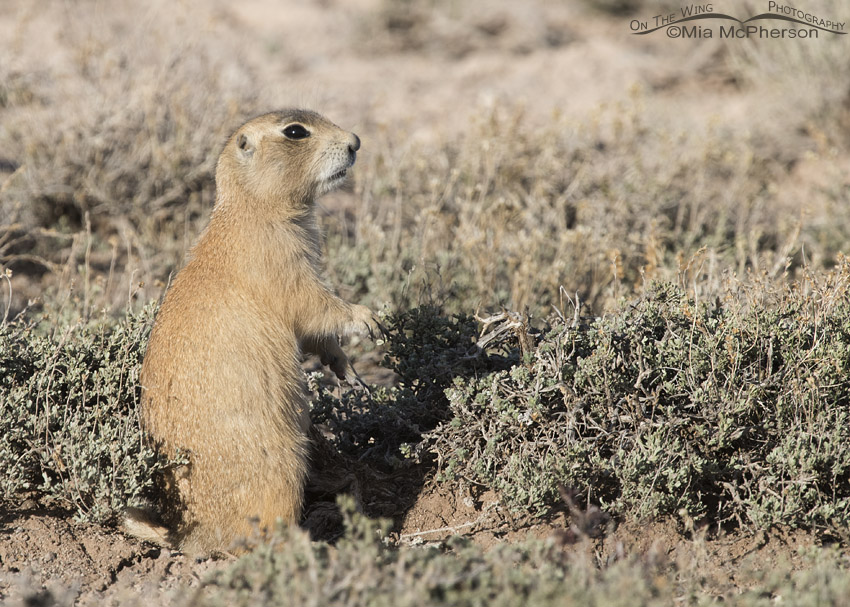 Alert White-tailed Prairie Dog