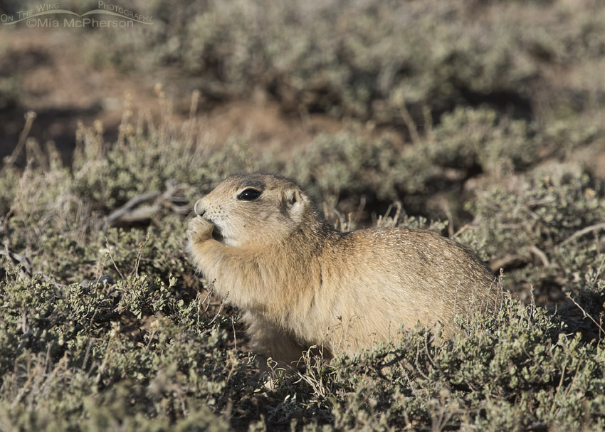 White-tailed Prairie Dog eating in evening light