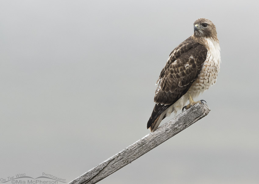 Red-tailed Hawk on a foggy morning