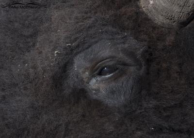 Bison Tears