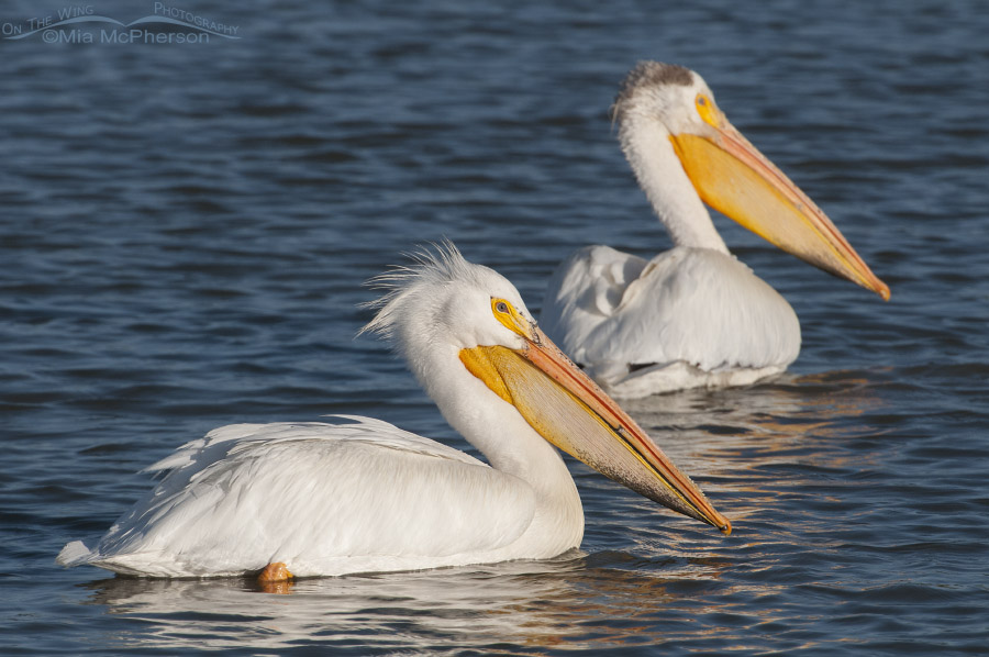 American White Pelicans near the auto tour loop at Bear River National Wildlife Refuge, Box Elder County, Utah
