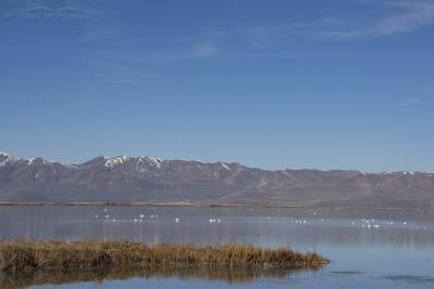 Spring Swans at Bear River MBR