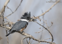 Female Belted Kingfisher with prey