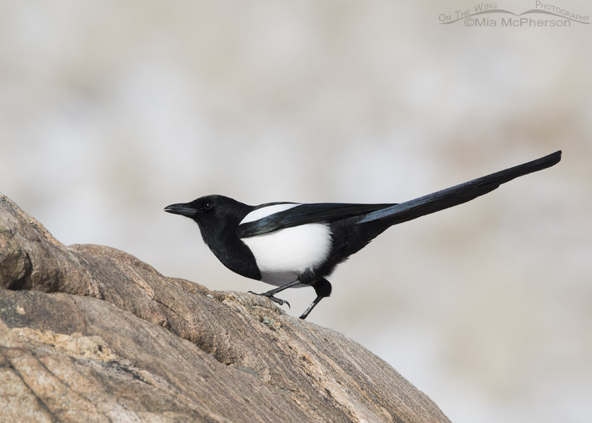 Black-billed Magpie squatting on a rock