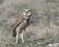 Burrowing Owl on alert near its burrow