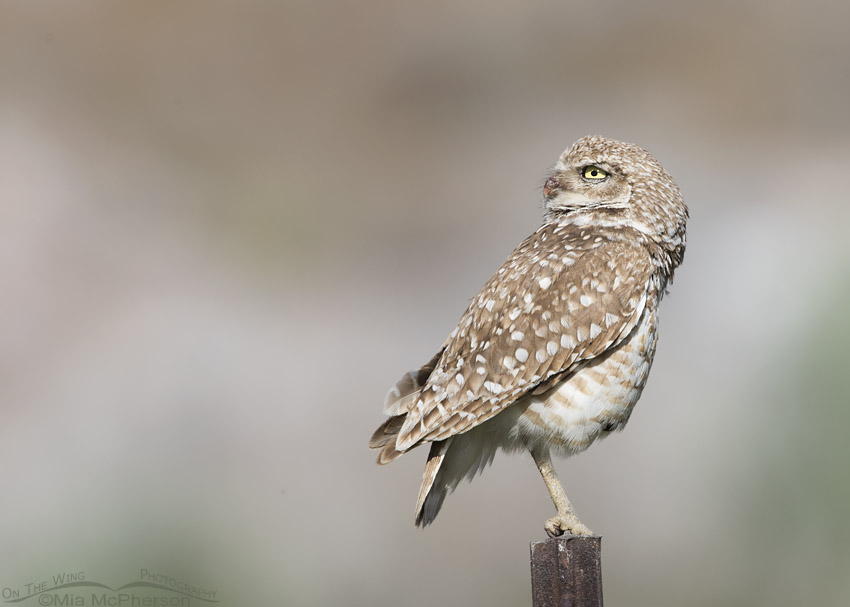 Adult male Burrowing Owl looking up into the sky