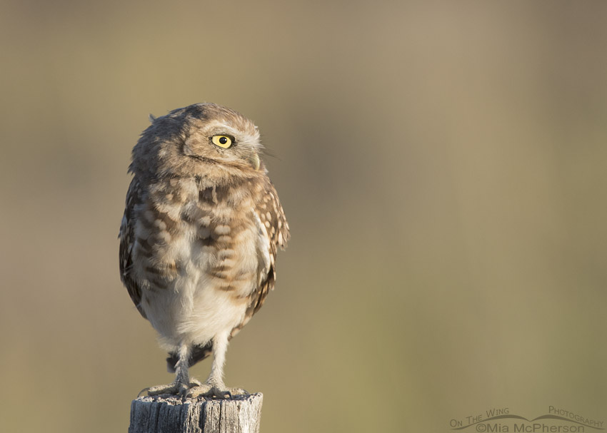 Young Burrowing Owl on a post