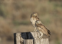 Two juvenile Burrowing Owls in early morning