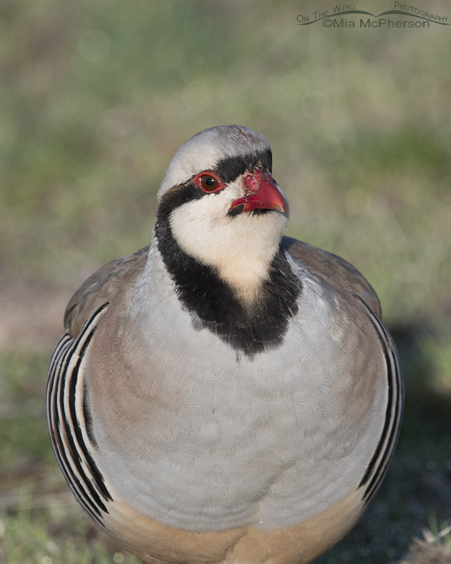 Chukar close up March 2017