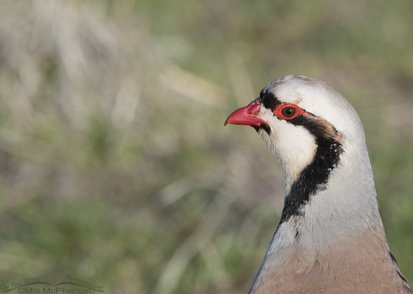 Chukar profile portrait