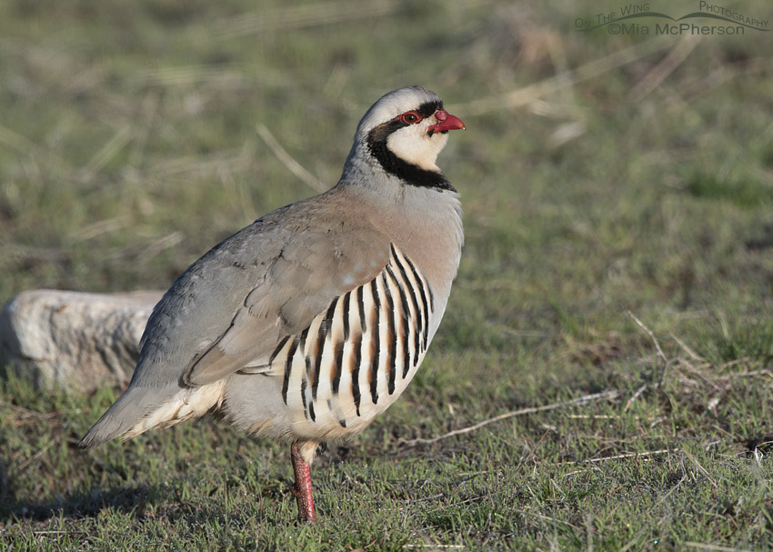 Chukar male in dewy grasses