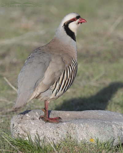 Chukar male standing on a rock