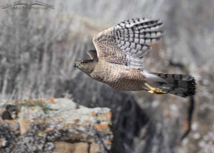 Cooper's Hawk in flight in northern Utah
