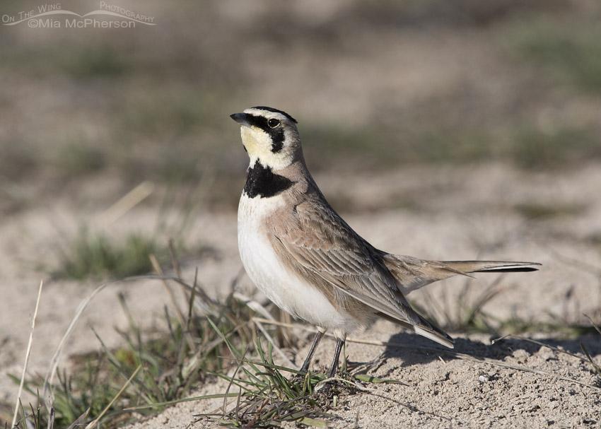 Male Horned Lark territorial behavior