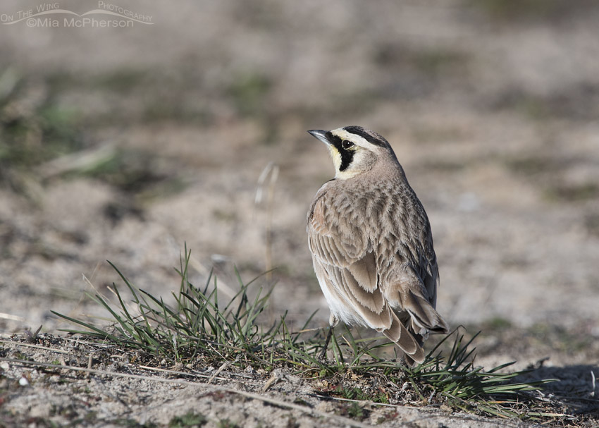 Male Horned Lark watching another male