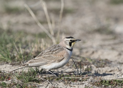 Male Horned Lark during a territorial chase