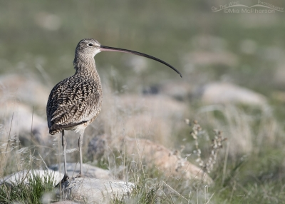 Long-billed Curlew perched on a rock