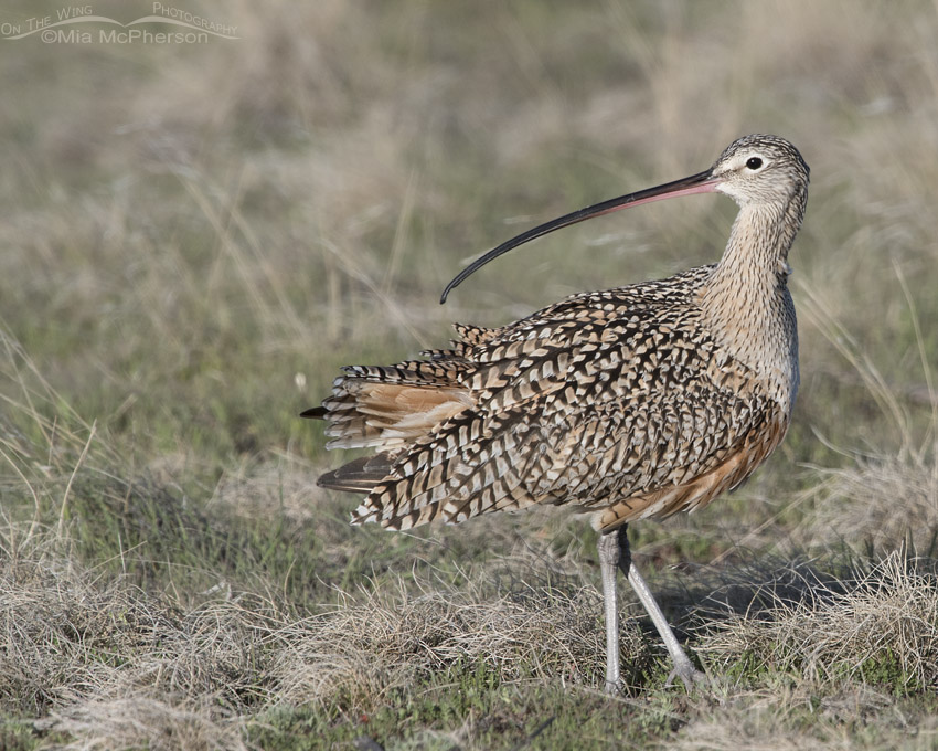 Long-billed Curlew in the midst of preening
