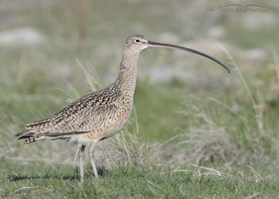 Long-billed Curlew in early spring