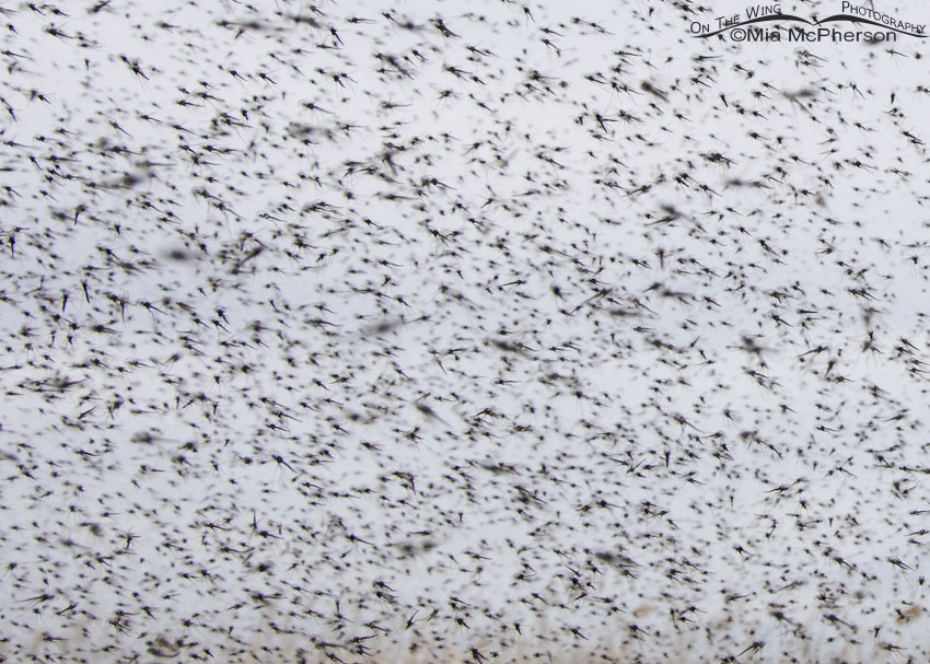 Close up view of a Midge Swarm