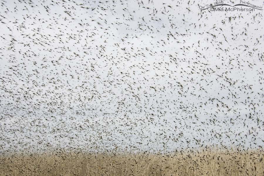 Thick swarm of Midges out side my driver's side window
