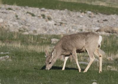 Mule Deer doe feeding on spring grasses