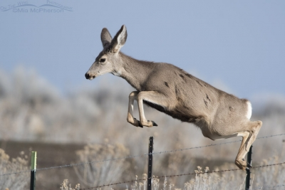 Mule Deer leaping over a fence