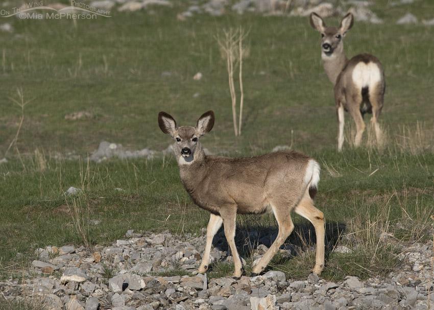 Yearling Mule Deer on a grassy slope