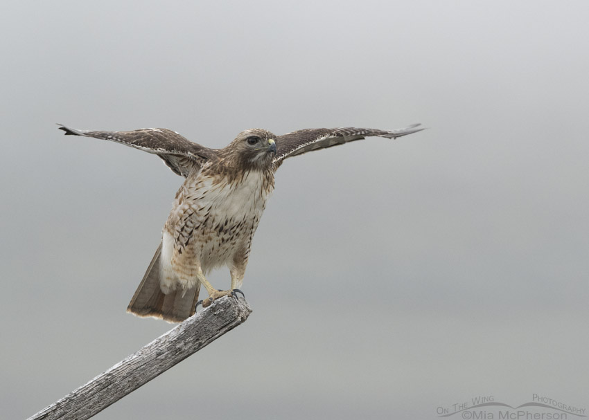 Red-tailed Hawk struggling for balance in a fog