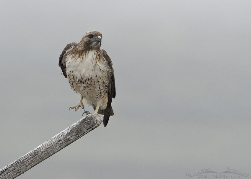Red-tailed Hawk in a fog lifting one foot