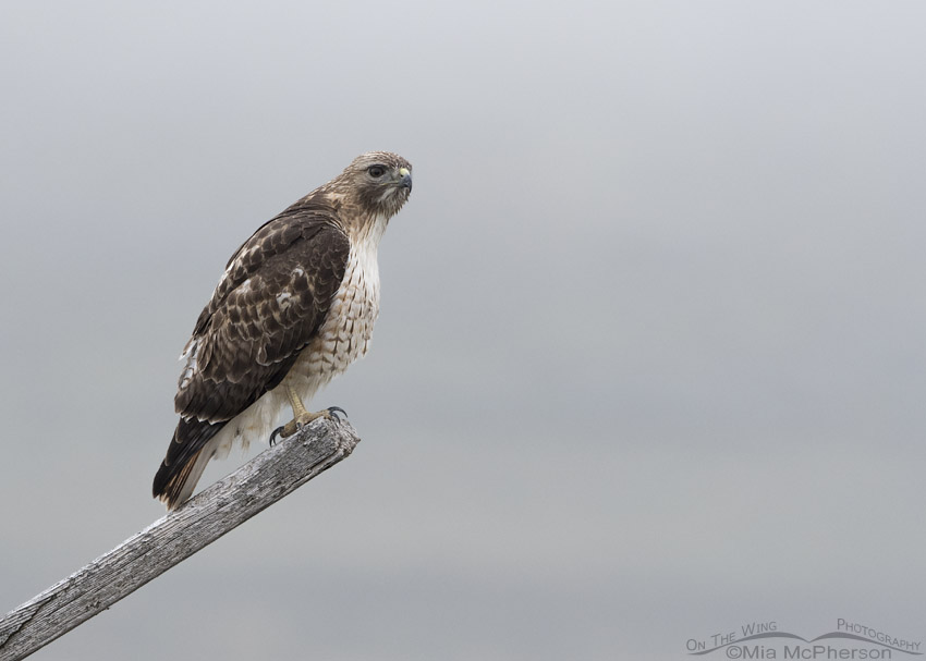 Red-tailed Hawk perched on a leaning post in a fog