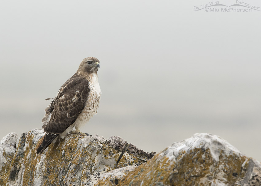 Red-tailed Hawk adult perched in fog