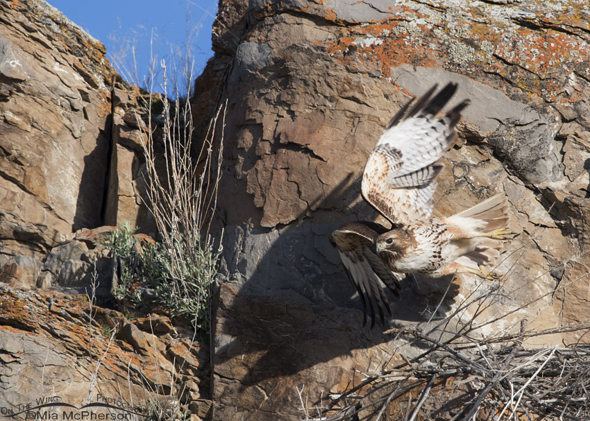 Female Red-tailed Hawk leaving the nest