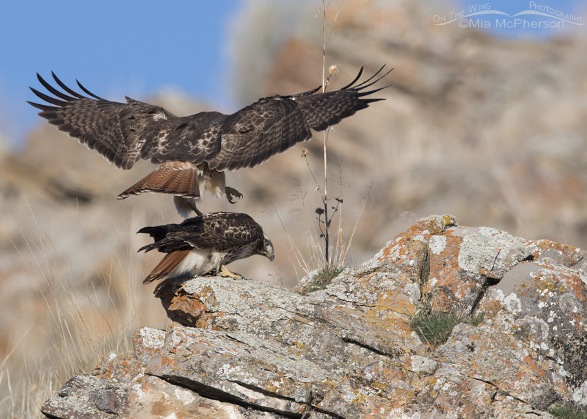 Male Red-tailed Hawk about to mount the female